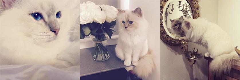 Choupette_Lagerfeld_najbardziej_rozpieszczony_kot_swiata_2